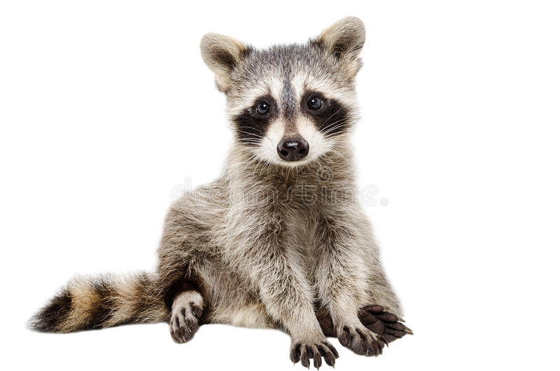 Funny raccoon. Sitting isolated on white background