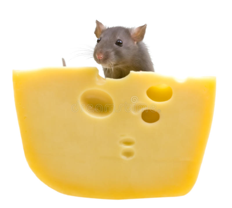 Free Funny Rat And Cheese Isolated On White Stock Photo - 12880460