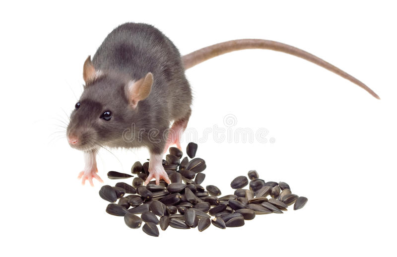 Download Funny Rat Eat Sunflower Seeds Isolated On White Stock Image - Image: 13089519