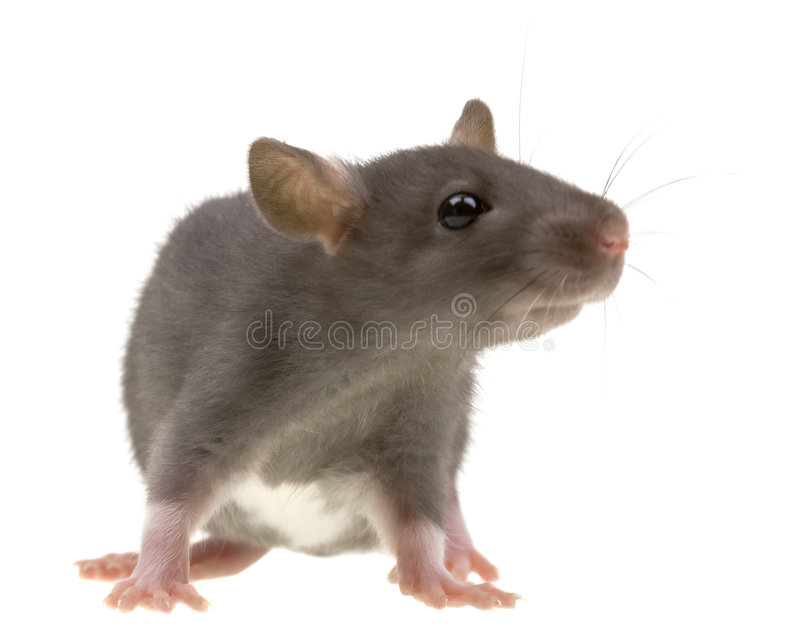 Funny rat isolated on white royalty free stock image