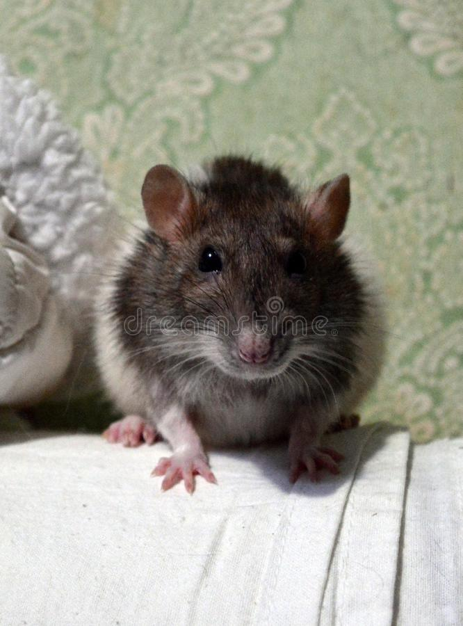 Funny rat. White fur, gray fur, brown fur, cute pet, pink paws, decorative rat royalty free stock photos