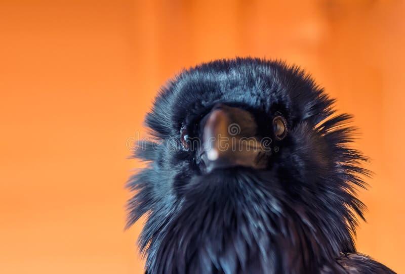 Funny raven. A black funny raven on the bright orange background stock image