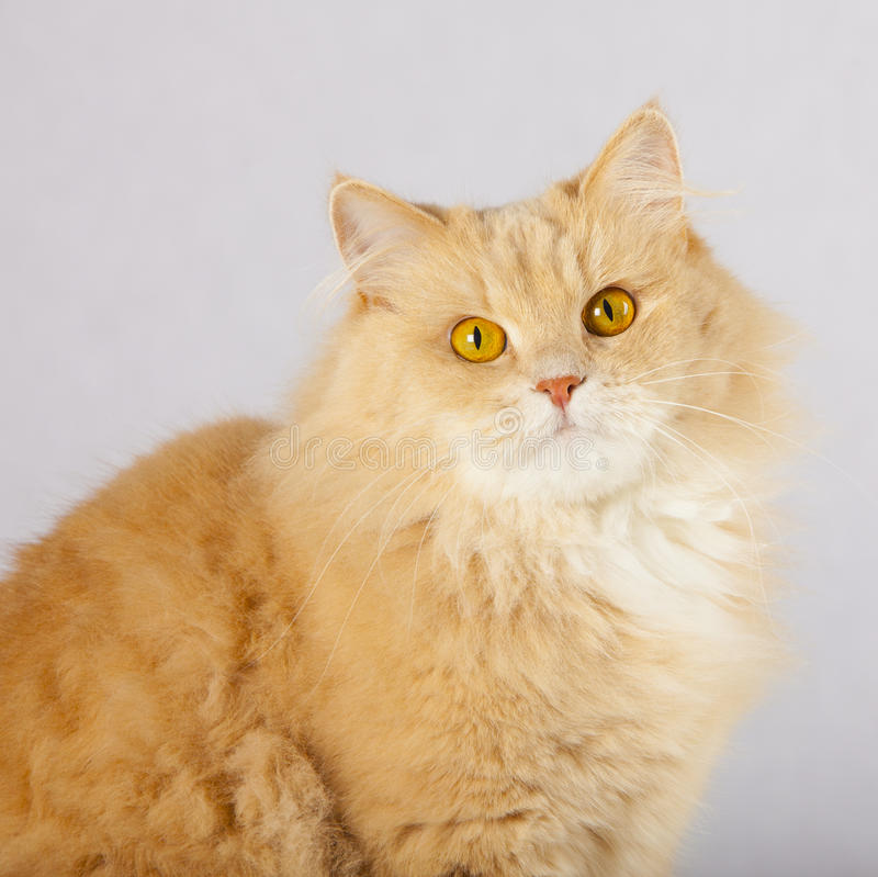 Funny red cat stock photo