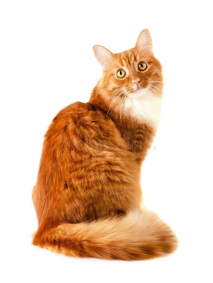 Funny red cat stock images