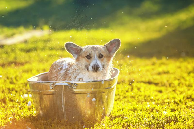 Red Corgi dog puppy with big ears sitting in a tub of soap suds outside in a summer warm Sunny garden. Funny red Corgi dog puppy with big ears sitting in a tub royalty free stock photos