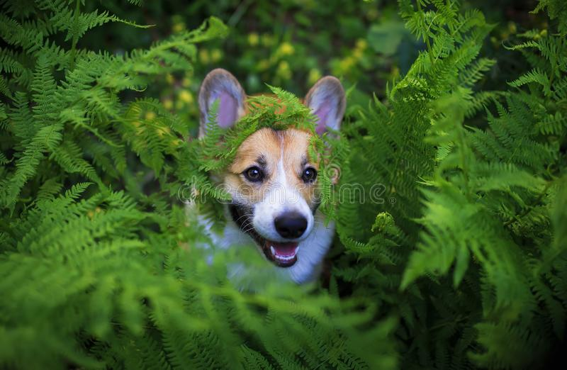 Funny red corgi dog puppy peeping out of thick green leaves fern. Funny corgi dog puppy peeping out of thick green leaves fern royalty free stock images