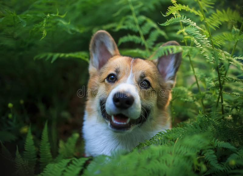 Funny  corgi dog puppy peeping out of thick green leaves fern. Funny red corgi dog puppy peeping out of thick green leaves fern stock image