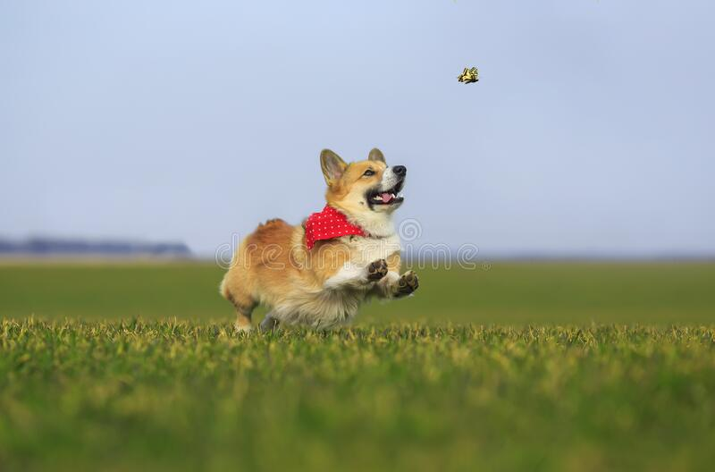 Corgi dog puppy runs fast on the green grass in the meadow and catches a swallowtail butterfly on a Sunny day. Funny red Corgi dog puppy runs fast on the green royalty free stock photography