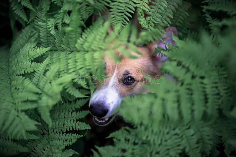 Funny red corgi dog puppy walks in the park and hid in the thick leaves of a fern and looks out stock image