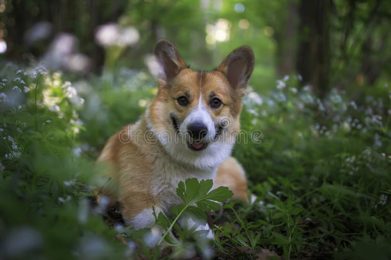 red corgi dog puppy walks in the park and sits among the flowers and leaves smiling royalty free stock photo
