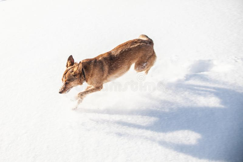 Funny red dog racing through the snow. pet covered with snow stock photos