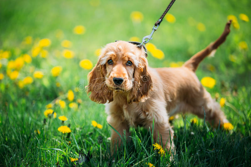 Funny Red English Cocker Spaniel Dog In Green. Grass in Park Outdoor royalty free stock photos