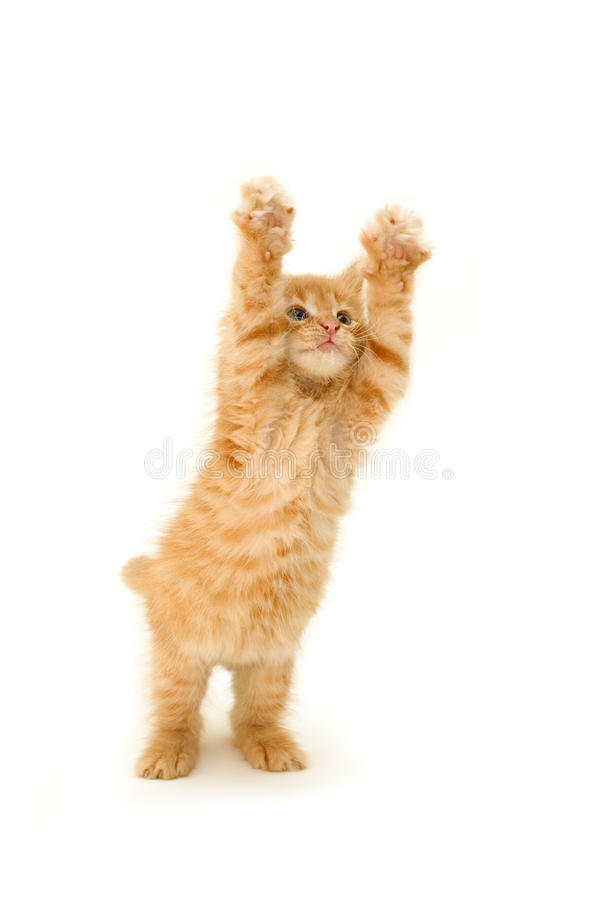 Funny red kitten royalty free stock photography