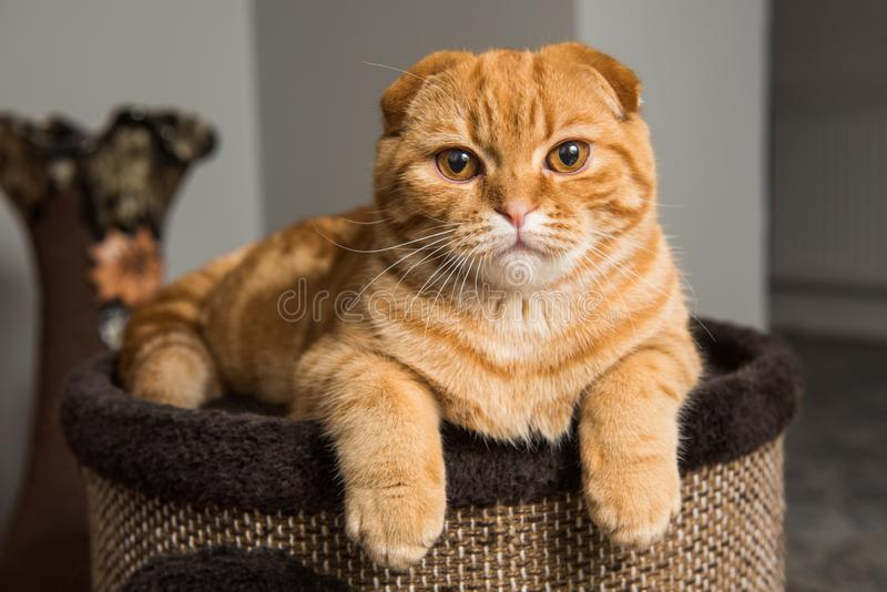 Scottish Fold red cat in cat house royalty free stock photos
