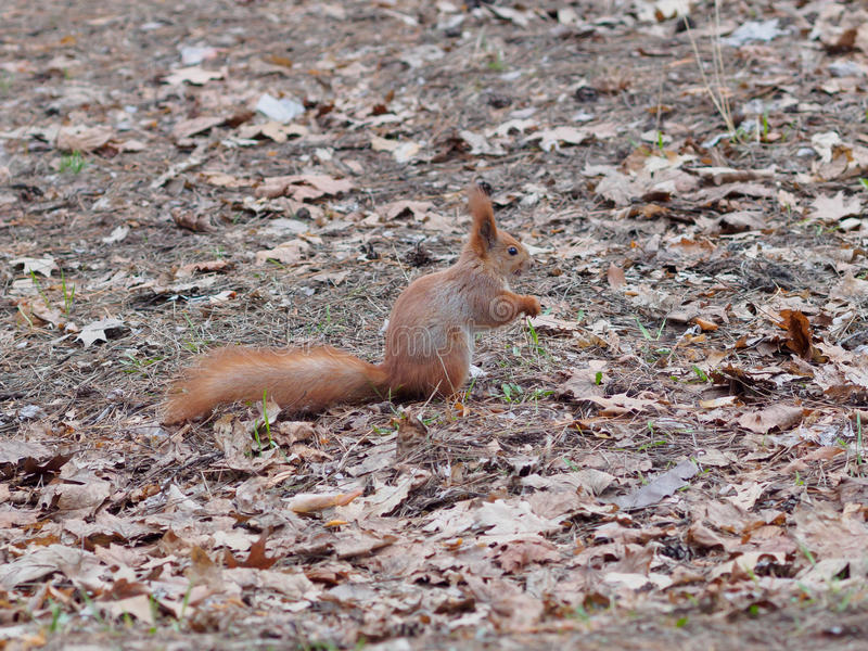 Funny red squirrel with scary face posing in the park royalty free stock photo