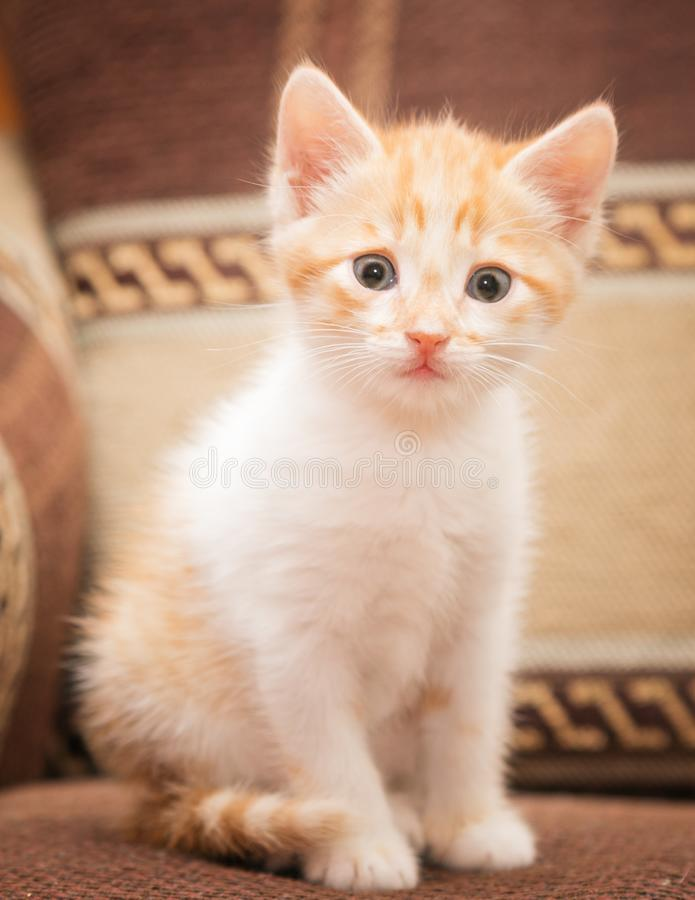 A funny redhead kitten sits on the sofa and cute looks at you. stock photos