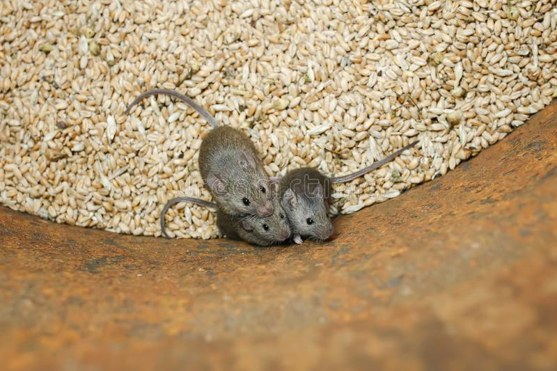 Funny rodents little gray mice sit in a barrel with a stock of wheat grains, spoil the harvest and look up scared. Rodents little gray mice sit in a barrel with stock images