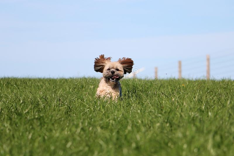 Funny running small dog in the garden stock photography