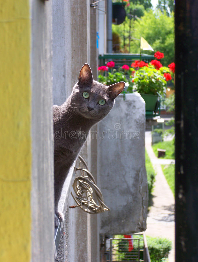 Funny Russian Blue cat stock photo