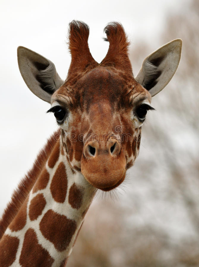 Funny or sad giraffe face? stock images