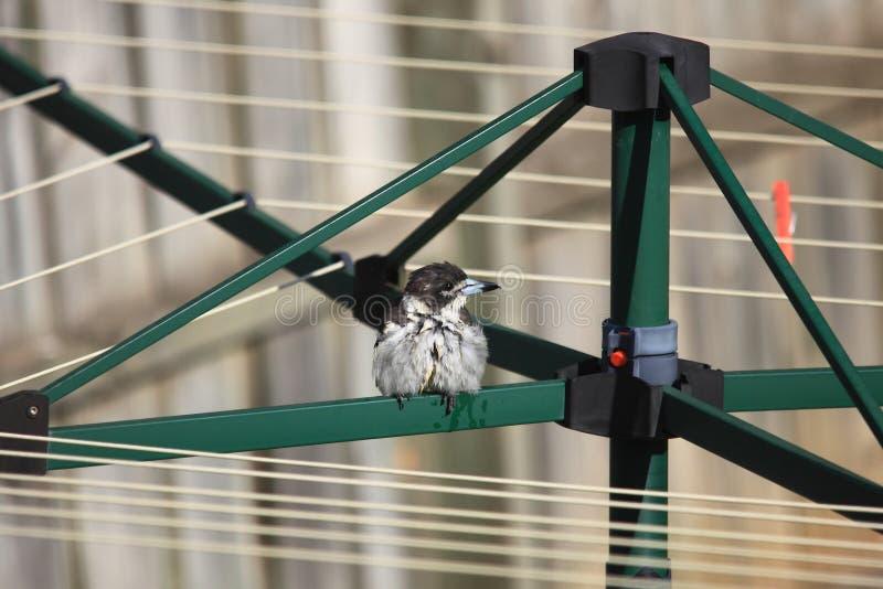 Wet Butcherbird on clothes dryer