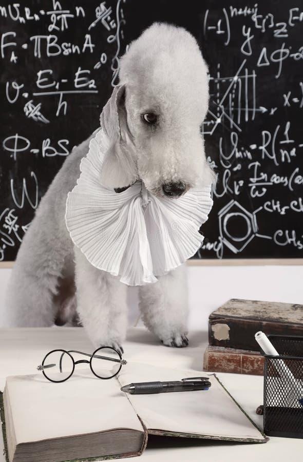 Funny scientist dog breed Bedlington Terrier stock image
