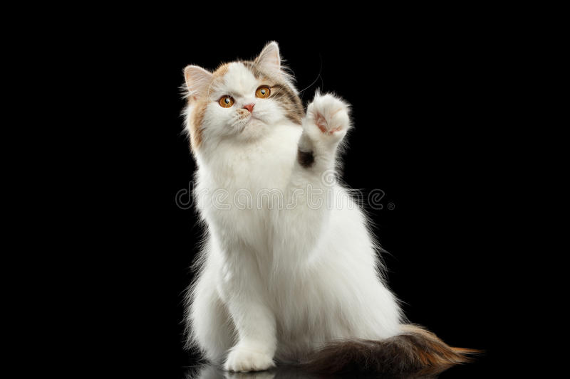 Funny Scottish Highland Straight Cat Raising paw, Isolated Black Background. Funny Scottish Highland Straight Cat, White with Red Color of Fur, Raising up paw royalty free stock images