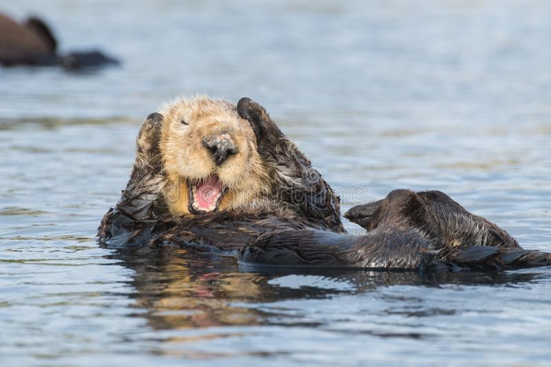 Funny sea other holding head. A sea otter paws at his head in Morro Bay, California. Sea otters have made a comeback in the area after being listed as threatened stock image