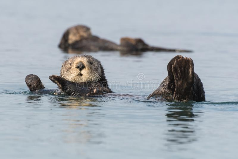 Sea otter swimming Morro Bay, California. Funny sea otter in Morro Bay along California`s Central Coast. Sea otters were listed as threatened under the royalty free stock photography