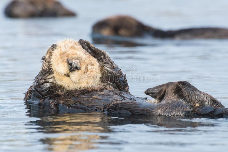 Sea otter saying `I can`t hear you` covering ears. Funny sea otter with white head in Morro Bay along California`s Central Coast. Sea otters were listed as royalty free stock images