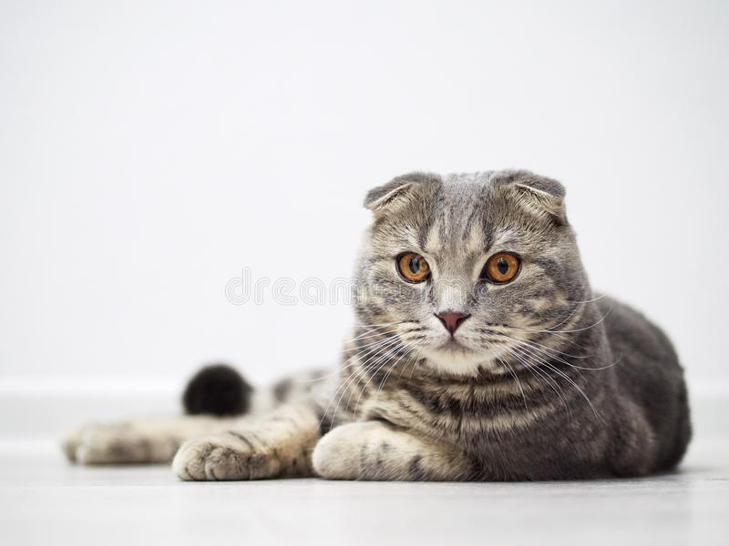 Funny serious scottish fold cat with bright yellow eyes lies on floor royalty free stock photo