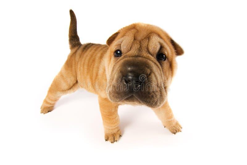 Funny shar pei puppy. Isolated on white background (studio shot stock photos