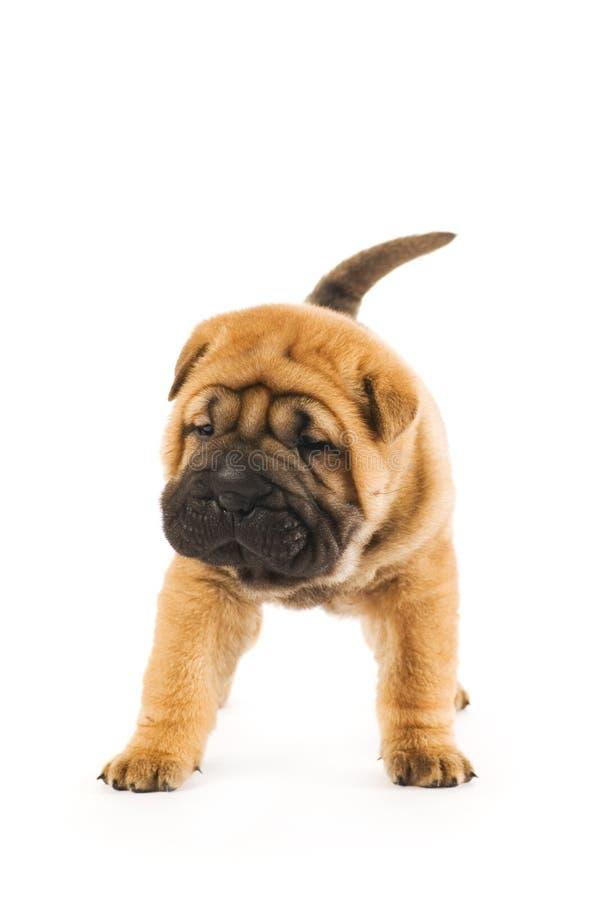 Funny shar pei puppy royalty free stock photo