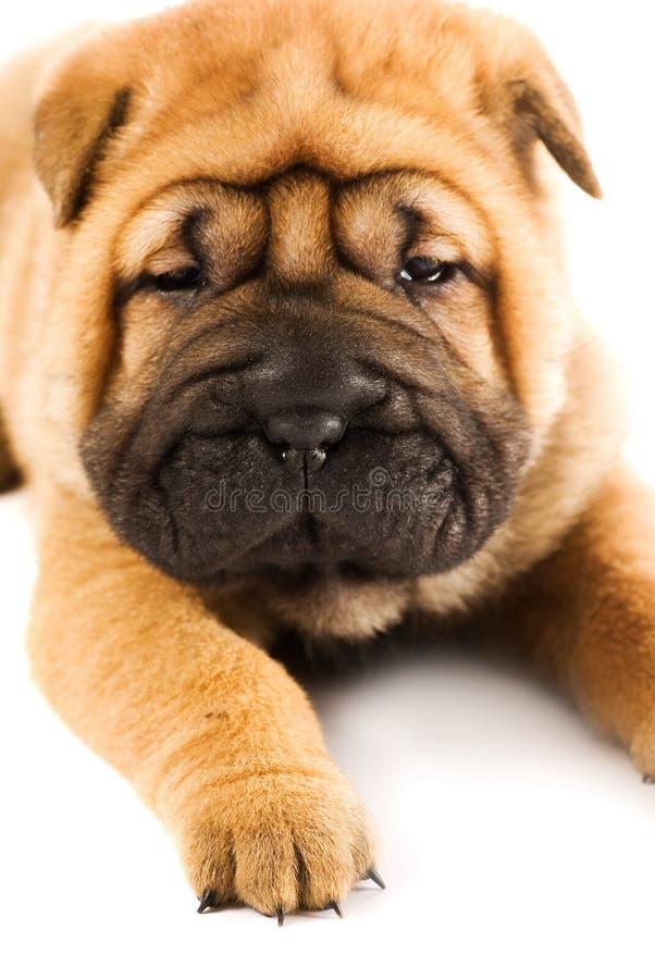 Funny sharpei puppy royalty free stock photos