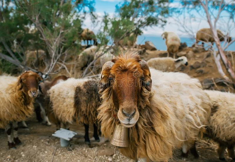 A funny sheep with big bell looking at camera stock photos