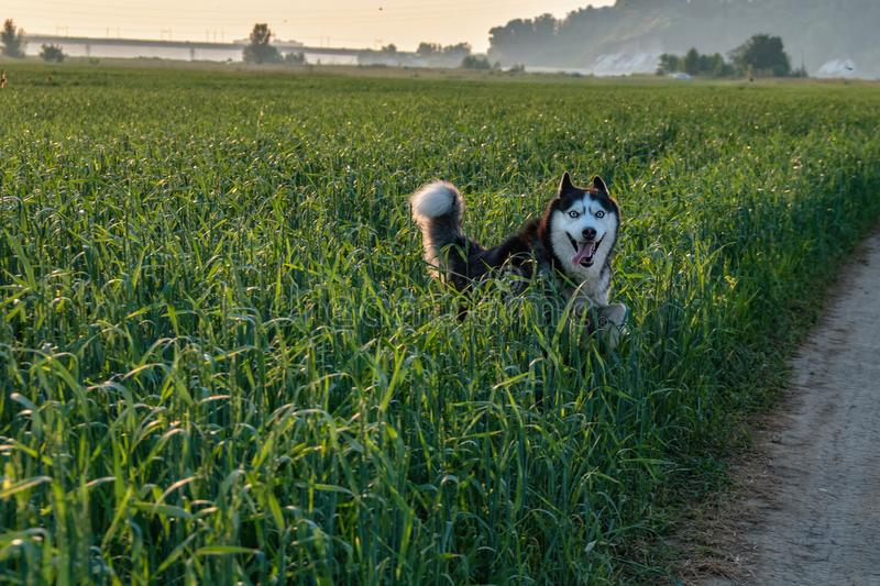 Funny siberian husky dog running through the tall green grass in the field. stock photography