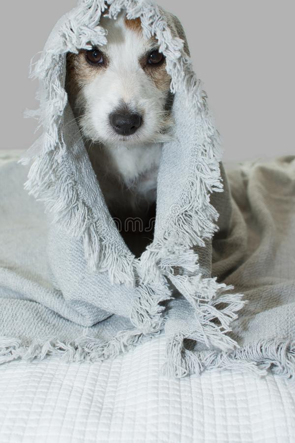 FUNNY AND SICK JACK RUSSELL DOG WAKING UP COVERED WITH A GRAY BLANKET HEAD ON BED stock image