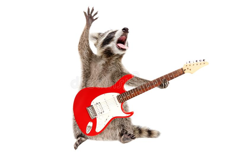 Funny singing raccoon with electric guitar stock image