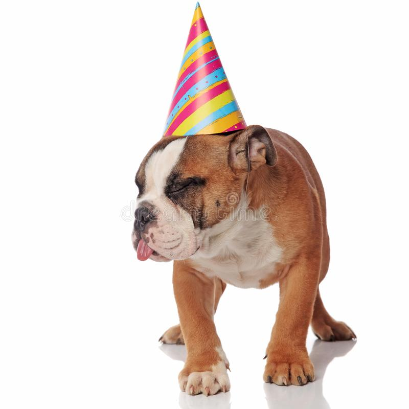 Funny sleepy bulldog with birthday cap sticks out tongue. While standing on white background and looking to side stock photography