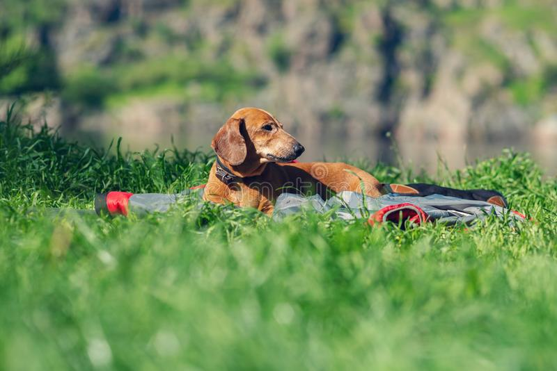 Funny small dog, a dachshund, relaxes next to river royalty free stock images