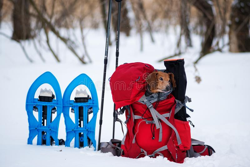 Funny small dog relaxes in a hiker`s backpack stock images