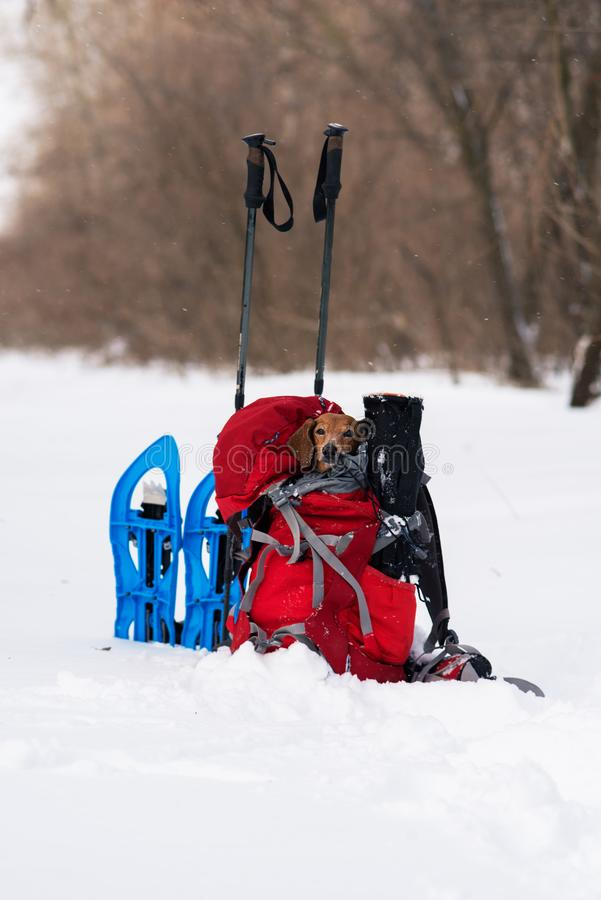 Funny small dog relaxes in a hiker`s backpack in winter forest royalty free stock photo