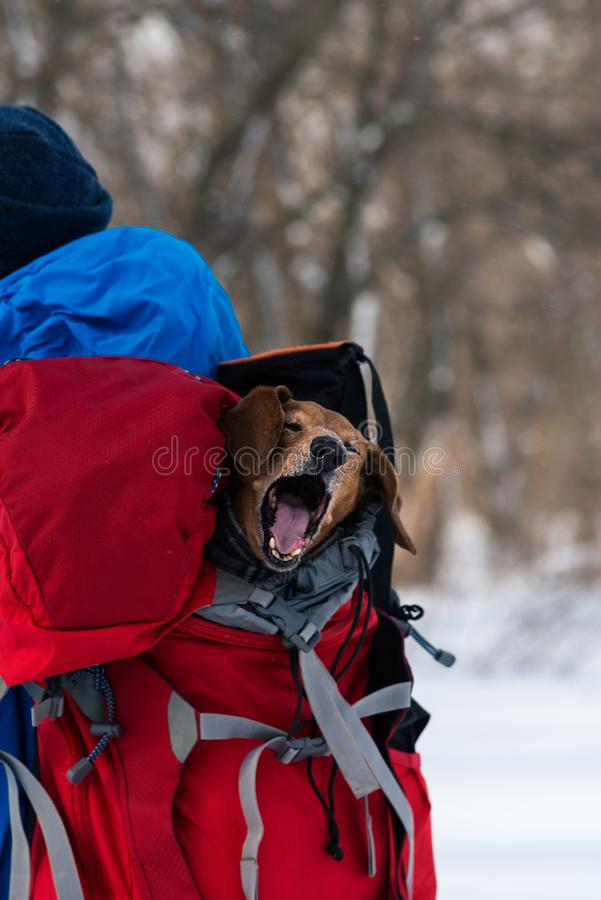 Funny small dog is riding in a hiker`s backpack royalty free stock images