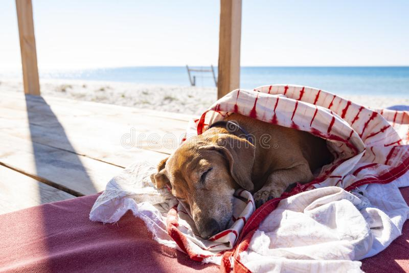 Funny small dog sleeps under a blanket, lying on the bungalow royalty free stock photography
