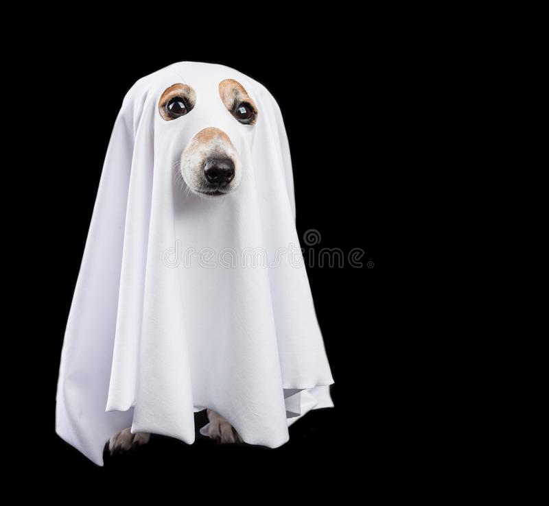 Funny small white halloween ghost on black background. Cute dog looking royalty free stock image