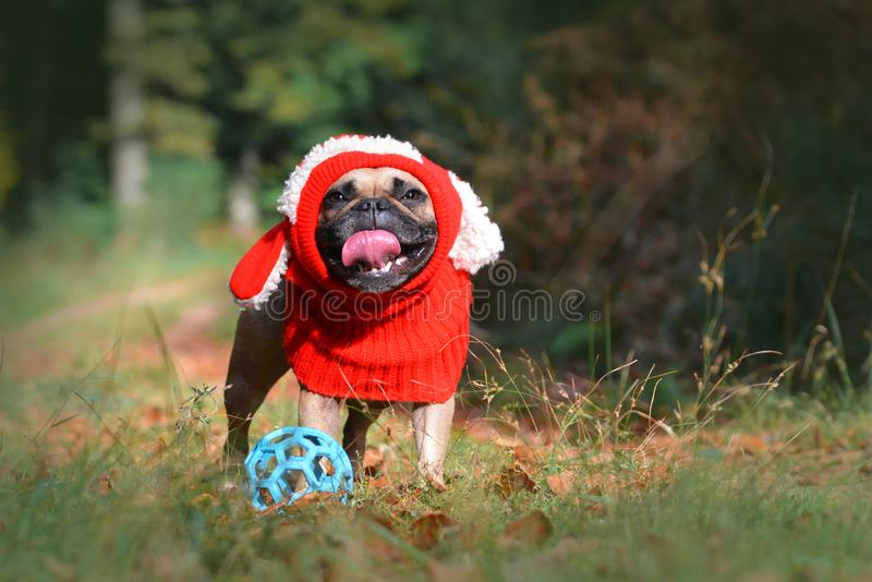 Funny smiling fawn French Bulldog dog girl with red winter loop with bunny ears in autumn forest stock photo