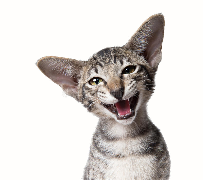 Funny smiling ugly meowing small kitten. Close up portrait stock images