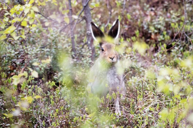 Funny snout hare hiding in the bushes. Arctic hare (Lepus timidus royalty free stock photos