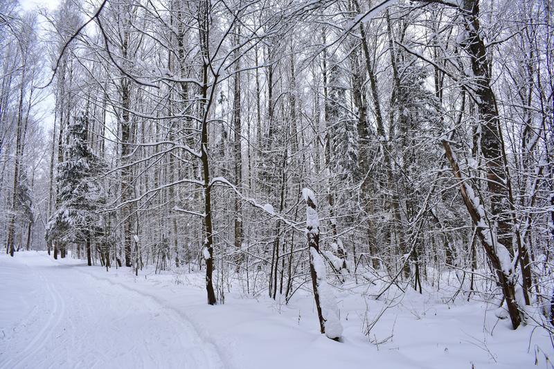 Funny snow twigs of bizarre shape, a small Christmas tree under the snow, stump, road in the forest. Fabulous white trees with a thick layer of snow on the royalty free stock photo