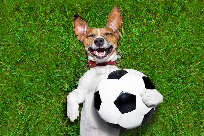Funny soccer dog royalty free stock photo
